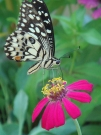 butterfly_eating_nectar