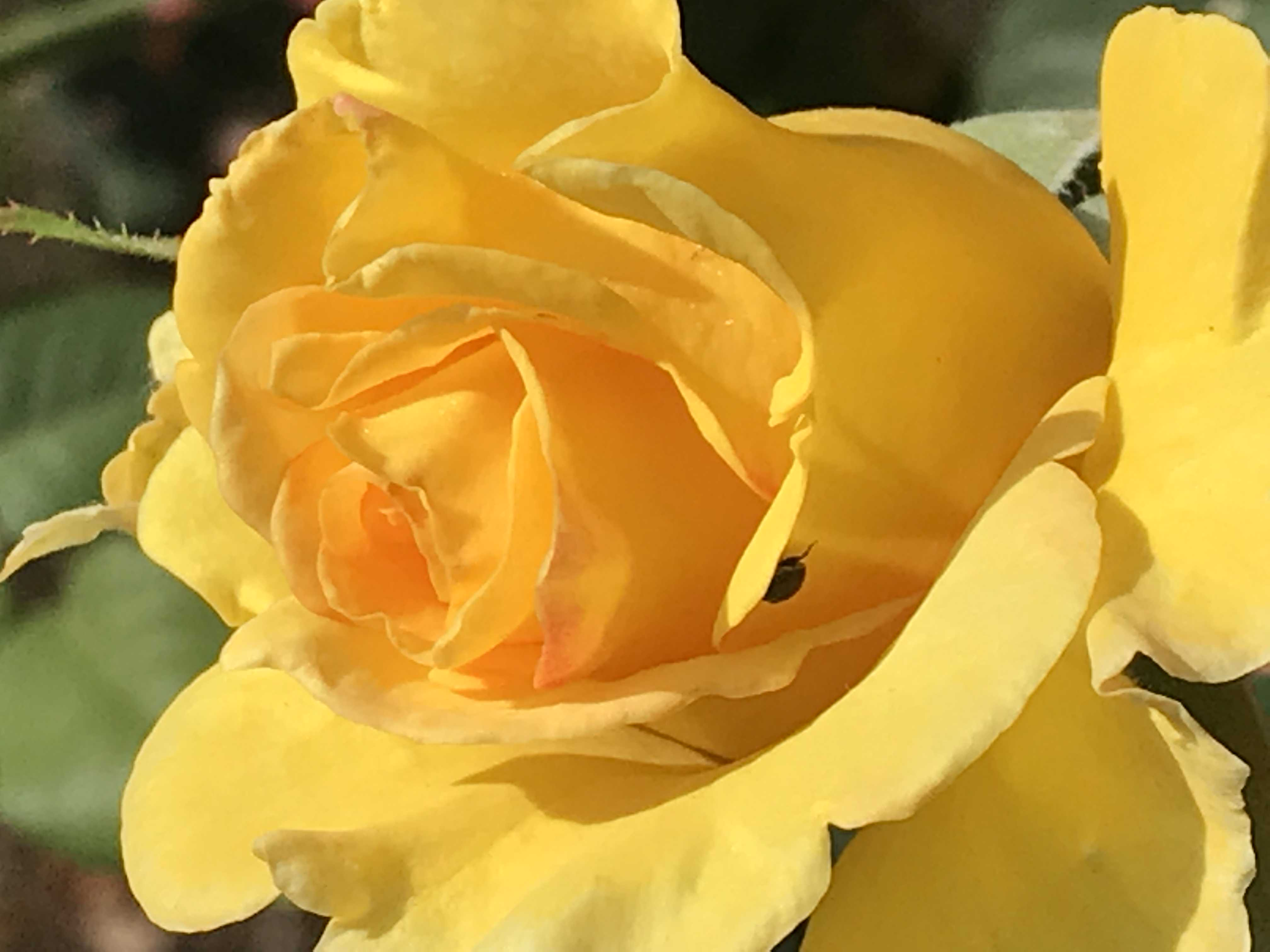 yellow rose with insect